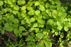 Мокрица (сорняк): полезные свойства, применение, противопоказания
