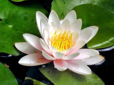 водяная лилия, противопоказания